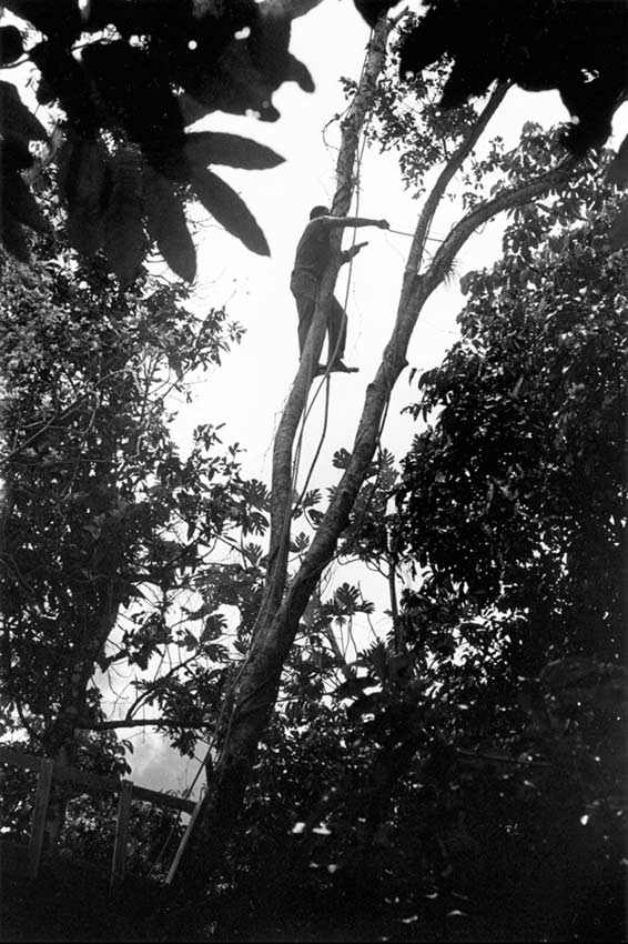 Maleng in Treetop Cutting Branches II