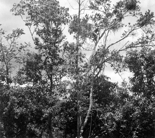 Maleng in Treetop Cutting Branches I